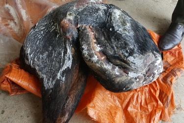 Hạt Kiểm lâm VQG Phong Nha - Kẻ Bàng: Khởi tố vụ án hình sự vi phạm quy định về bảo vệ động vật nguy cấp, quý, hiếm
